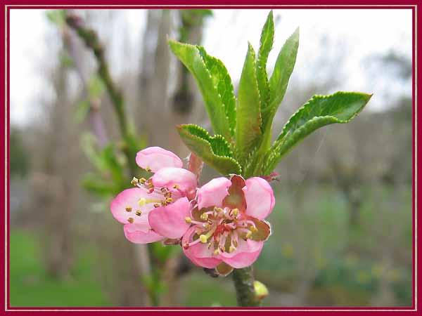 Unser garten april 2011 pfirsichbaum - Pfirsichbaum im garten ...